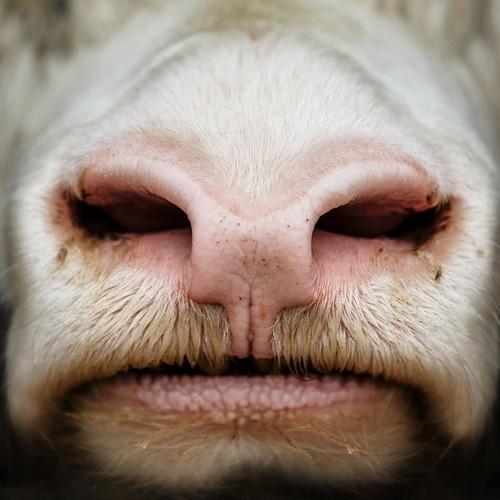 haveuheard bull usf