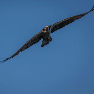 haveuheard osprey unf