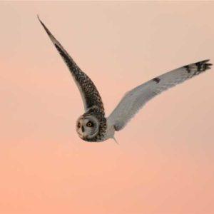 haveuheard owl fau